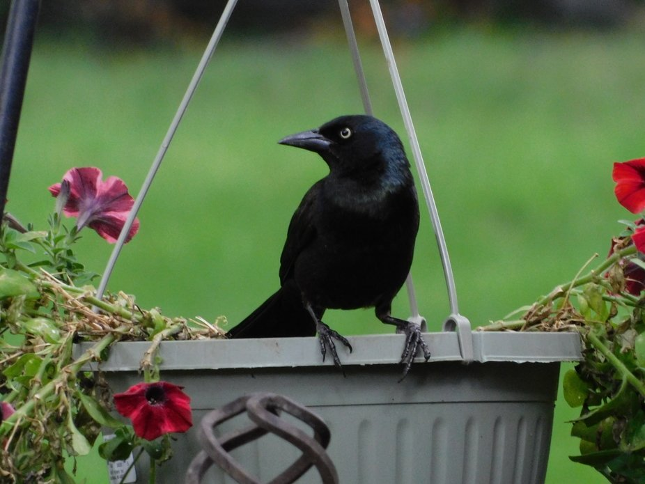 Grackles, pretty bird, mean eyes, not my fav. bird, call them the bullies on the block