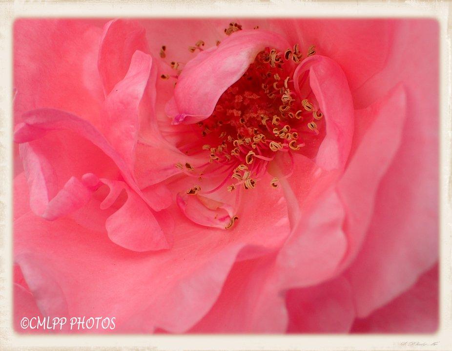 soft swirls of pink rose center