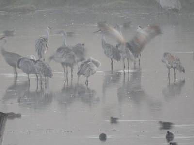 Sandhills cranes greet the morning