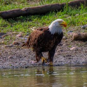 Bald Eagle In The River