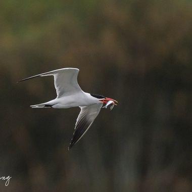Caspian Tern with fish DSC02423