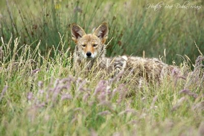 Coyote Through the Grass