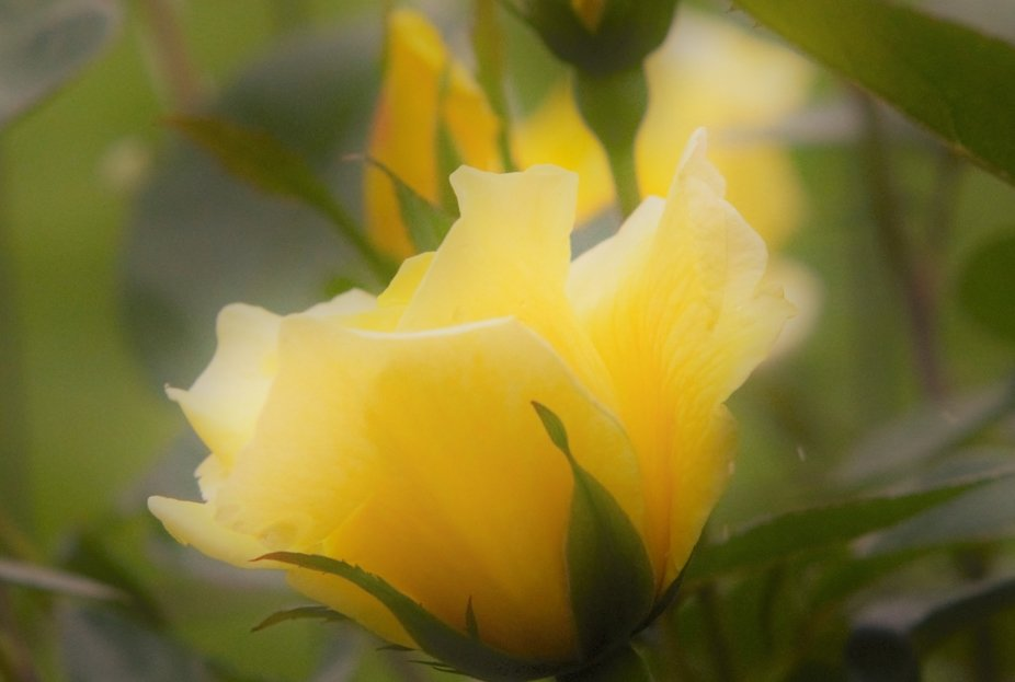 A Yellow Rose Gets Caught In The Rain.