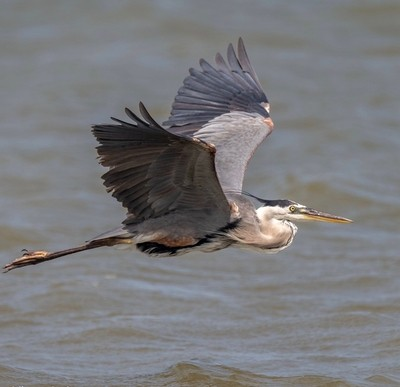 Great Blue Heron - 6-20-2019