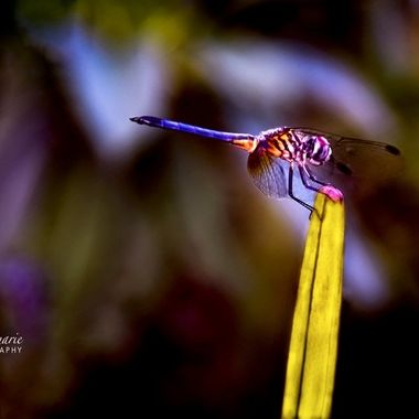 Dragonfly of Many Colors