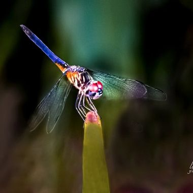 Multi Colored Dragon Fly
