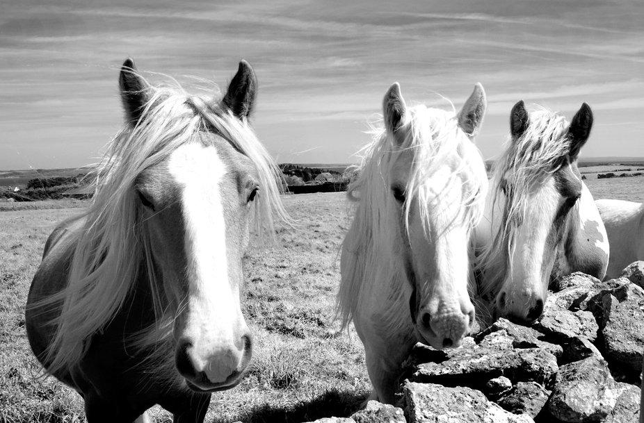 caldey island horses three II B&W