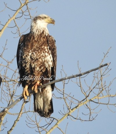 Eagle at the River