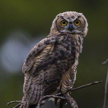 Great Horned Owl, Juvenile, DSC06796