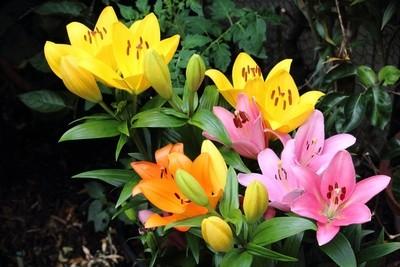 Die Lilien (Lilium)