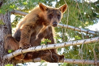 Just a bear chillin in a tree