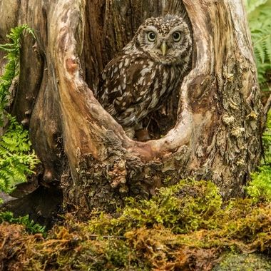 Owl in the hole