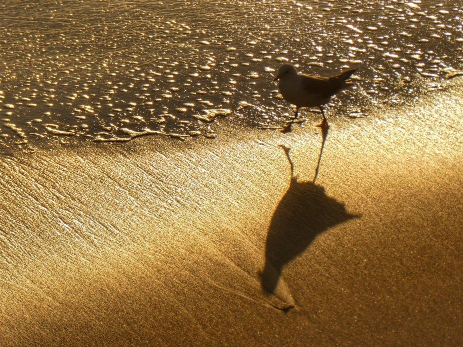 Golden Gull at Sunset