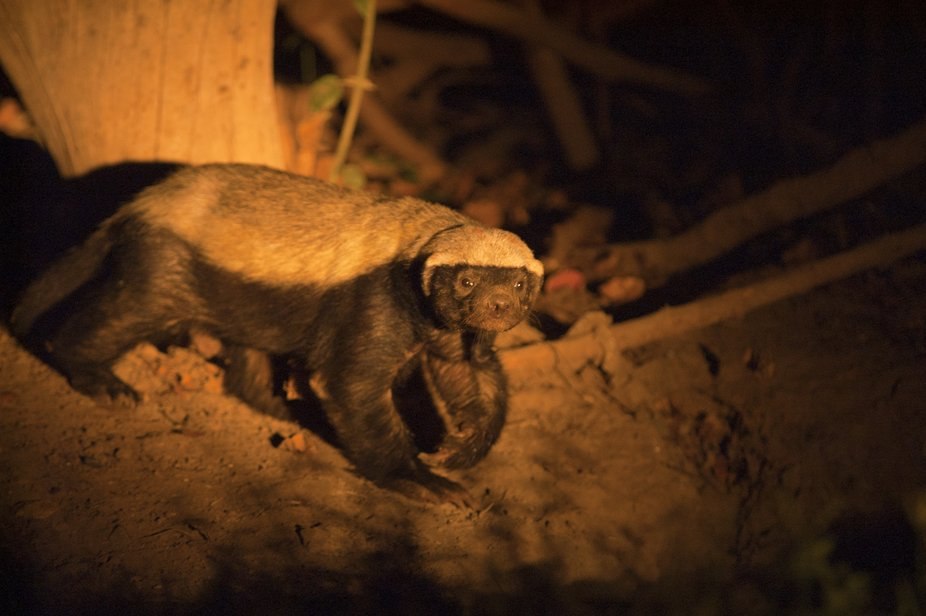This Honey badger came to check ou my camp-site in South Luangwe every evening. That habit made i...