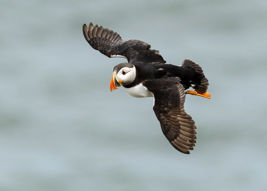 A puffin in flight at RSPB Bempton cliffs in Yorkshire, UK