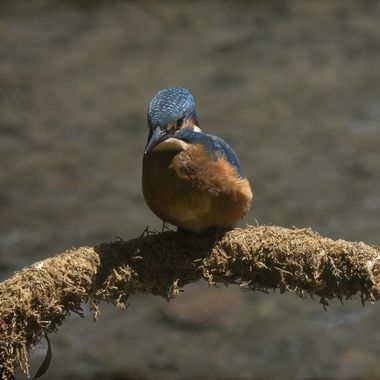 Kingfisher taking a short break between dives for food