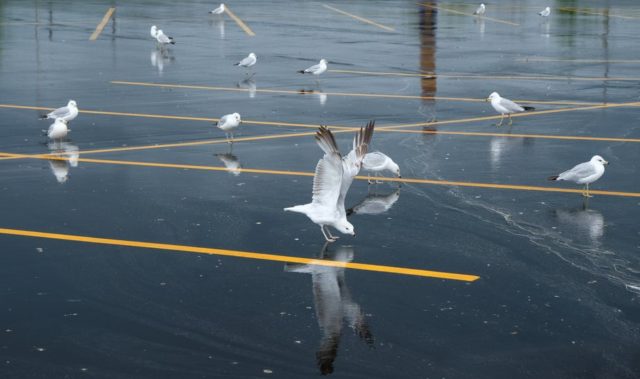 After a spring rain, seagulls decided to go shopping. I was fascinated by the reflections.