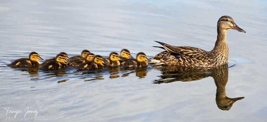 A young batch of Mallard Ducklings on Chemong Lake