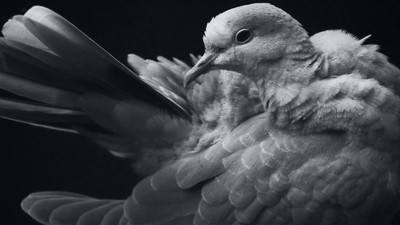 Black and White Dove