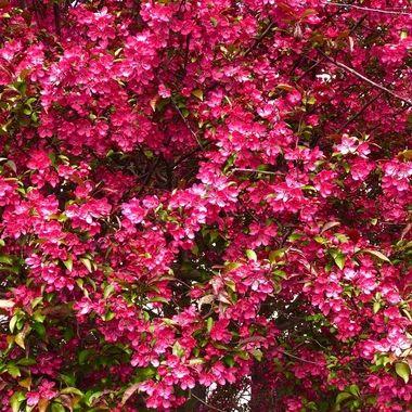 Pink. Bush.