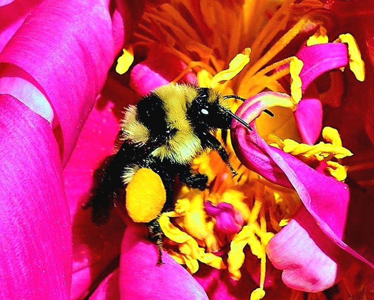 Bee on a Peony Macro