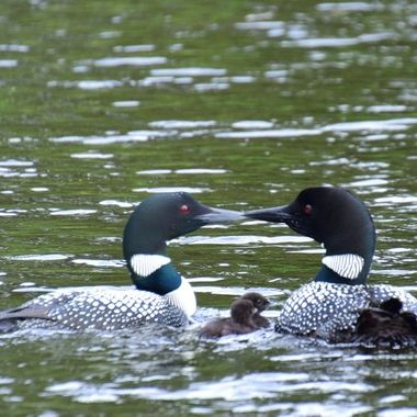 Caught these 2 loons kissing after feeding their young