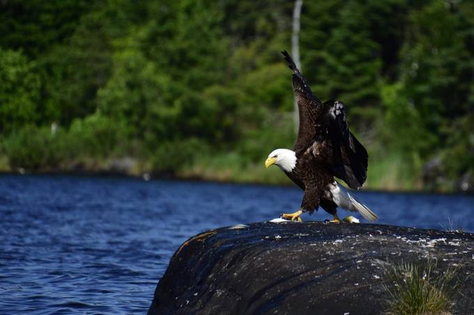 Where the Bald eagle frequently feed