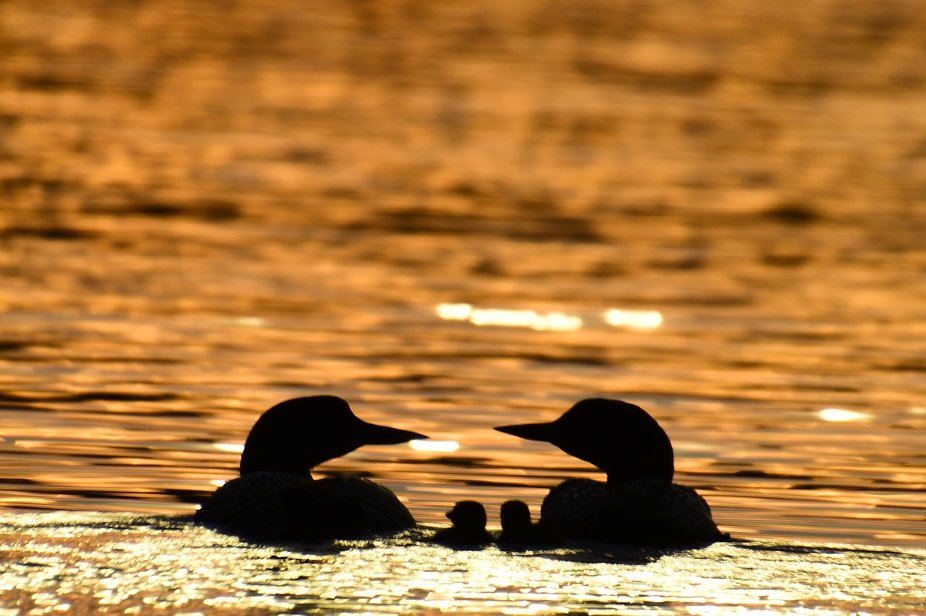 Caught this loon family swimming off into the sunset!
