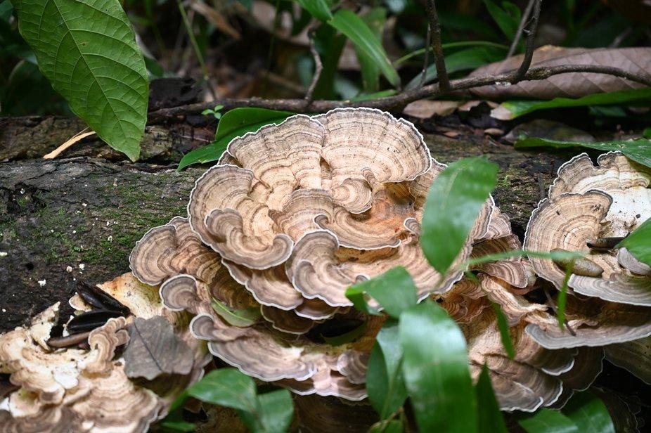 Fungi in Brazilian wet jungle growing on fallen tree