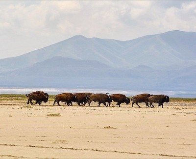 The sound of stampeding buffalo on the beach on Antelope island is something ill never forget!