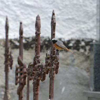 Colirrojo real, macho.Pequeña ave insectivora que viaja de Africa a España para criar. Sorprendida cazando insectos al vuelo en el cementerio de La Alberca (Salamanca-Spain).