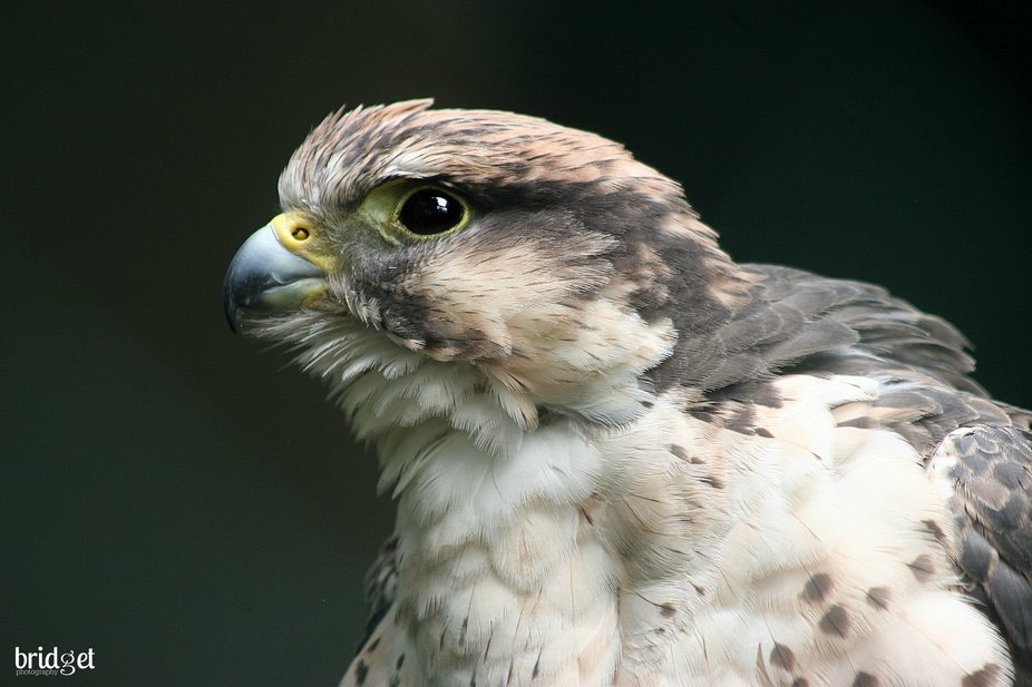One of my favourite Falcons, I have been fortunate to hold one of these amazing birds