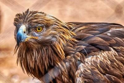 Golden Eagle through a fence