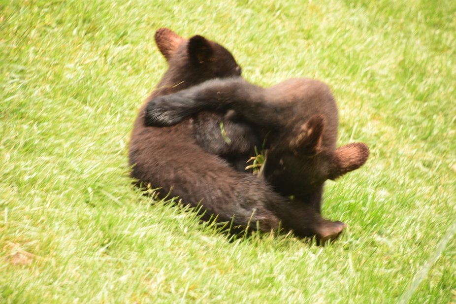 Bear cubs wrestling on the ground