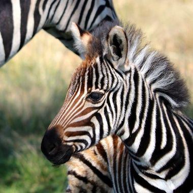 Zebra calf 3