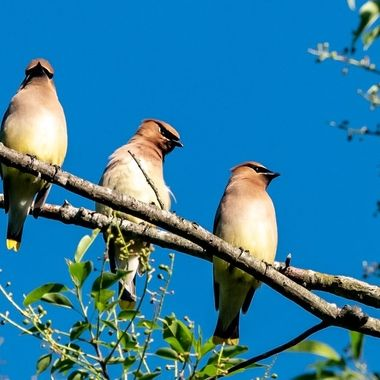Cedar Waxwings in the late Spring. DSC_4141