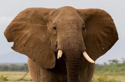 Elephant Close Up Kenya Africa