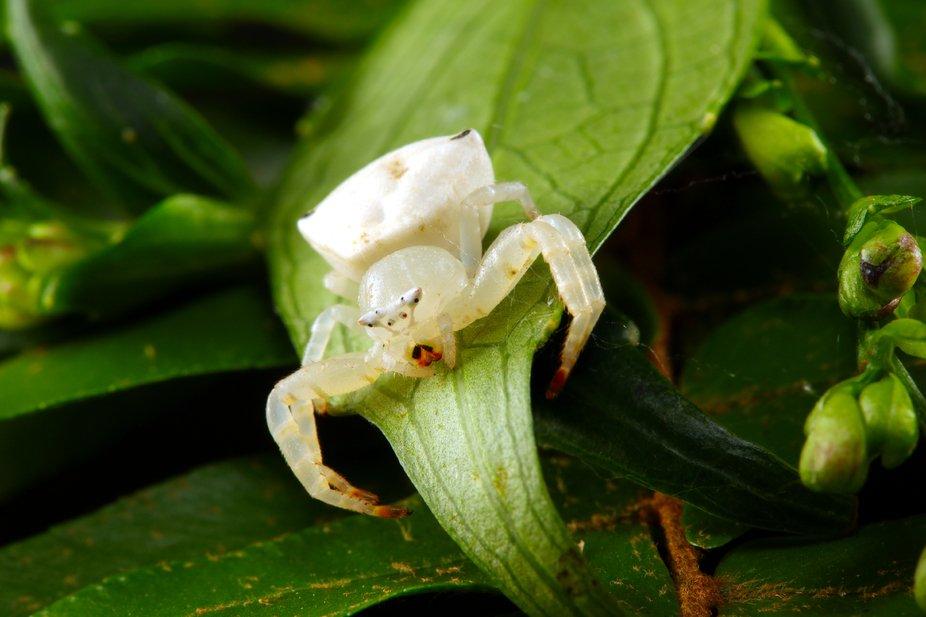 White Crab Spider _Thomisus spectabilis _From the rainforests of North Queensland, Australia.,