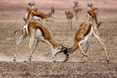 Ram Springbuck fighting