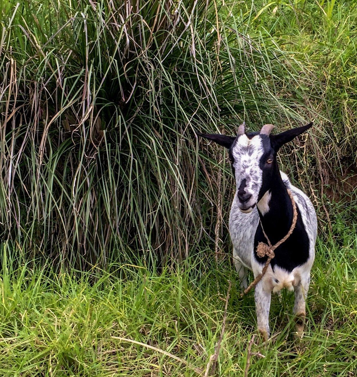 Goat is eaten a lot in Haiti