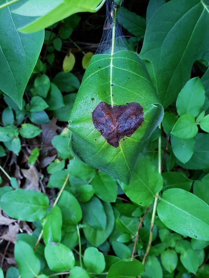 I see Hearts