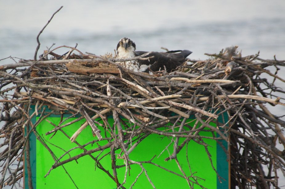 this nest is built every year on top of a nautical marker in the middle of Back Creek