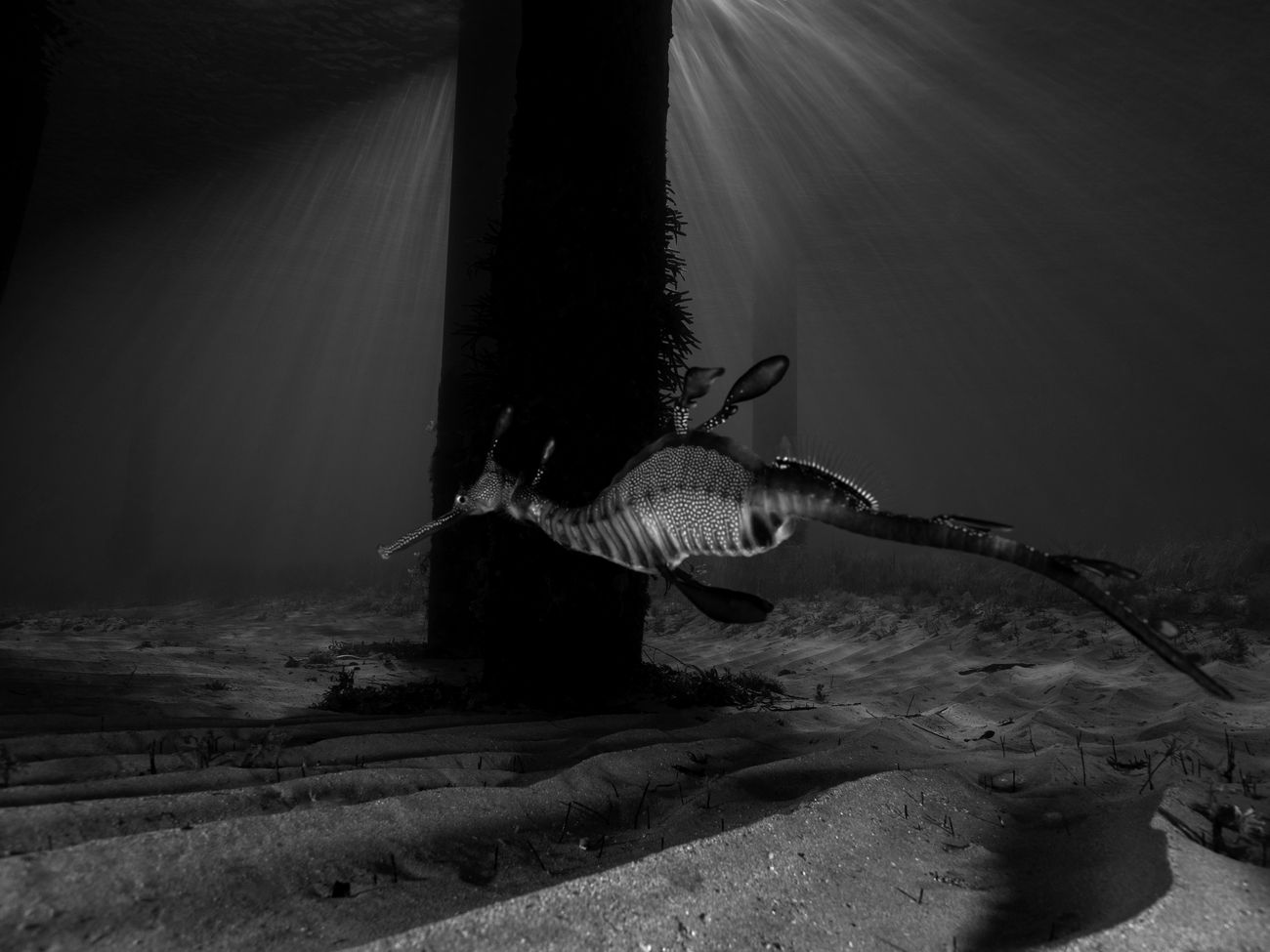 Black and white version of a favourite sea dragon shot, use the black and white to bring out the high contrast nature of the shot