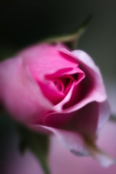 """IMG_1721 """"NEW ROSE"""""""