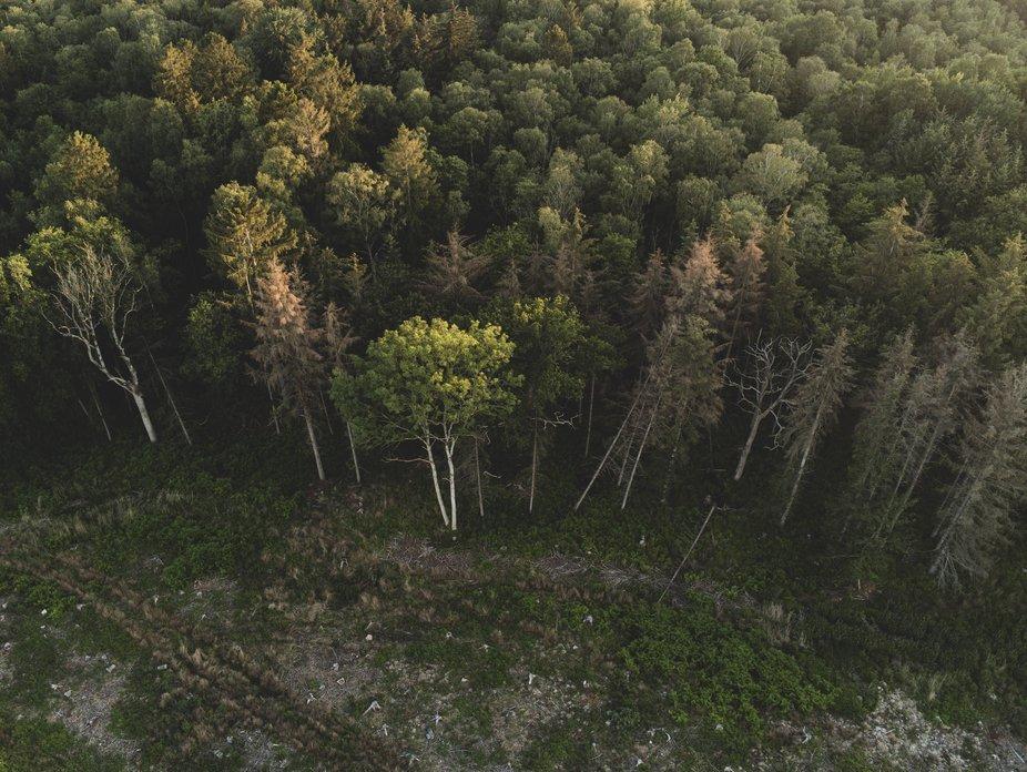 A green headed birch