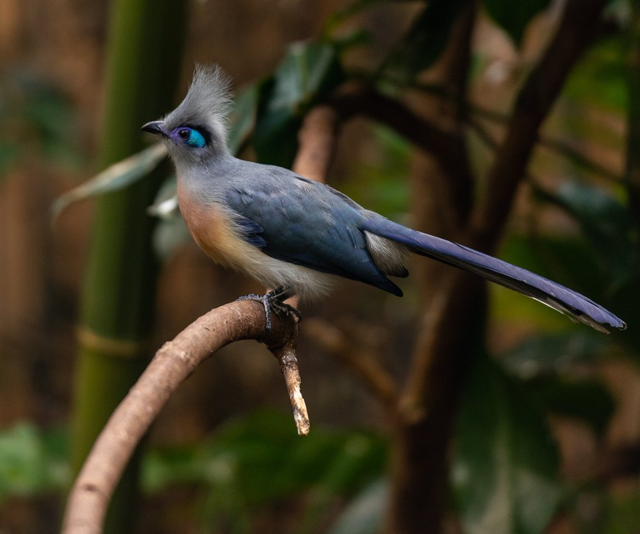Crested Coua in Profile