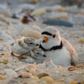 Baby Plovers Cuddling with Dad