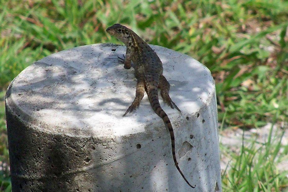 Lizard-wm-1
