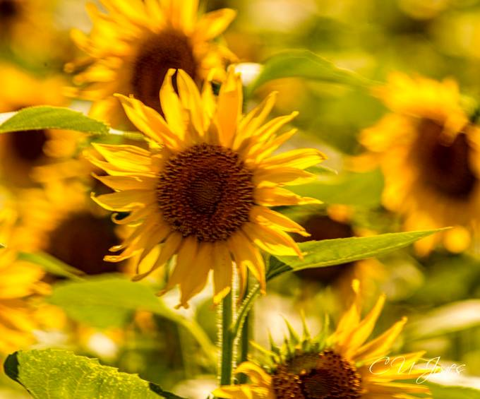Sunflowers of Donnelley WMA, Greenpond, SC