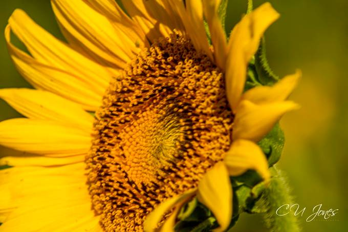 Sunflowers of Donnelley WMA